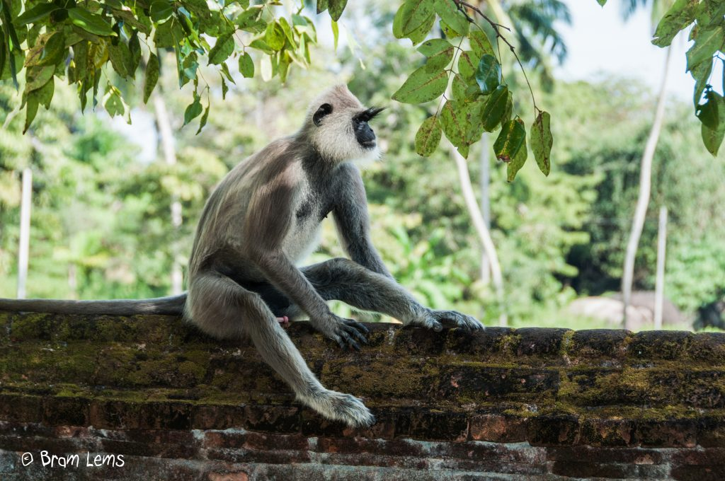 Aapje-Sri-Lanka