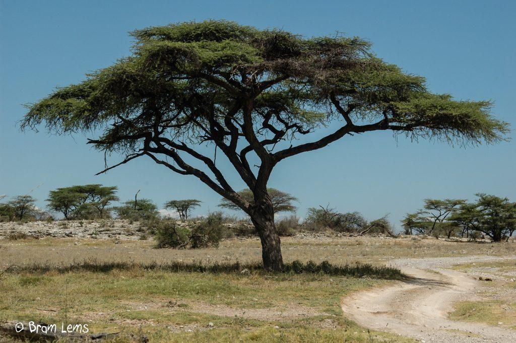 Akazia-Tanzania